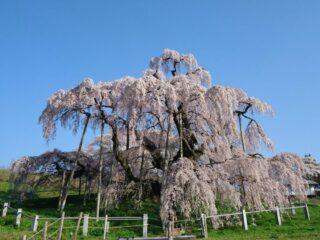 三春滝桜 会場写真 - 1