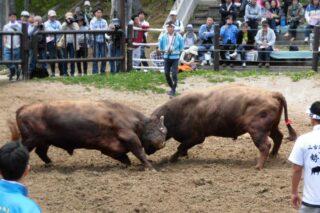 「牛の角突き」観戦 会場写真 - 1