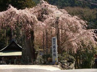 延寿院・枝垂れ桜 会場写真 - 1